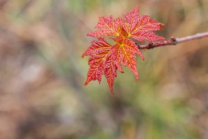Closeup of Spring Red Maple