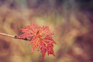 Red Maple Leaves in Spring