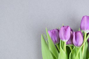 Purple tulips on grey