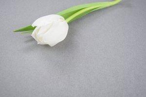 White tulip on grey