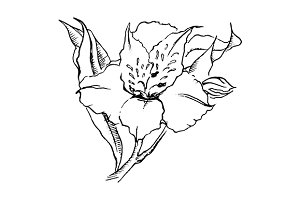 Alstroemeria flower sketch vector