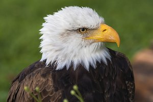 Portrait Bald Eagle