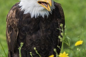 Bald eagle open beak