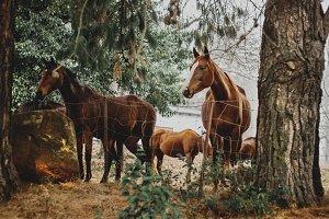 Horses among Pine trees