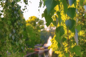 Birch leaves on the background of the canal