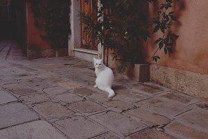 White street cat roaming in Rome