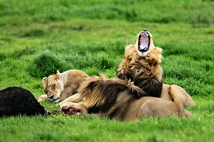 Lions feeding and relaxing