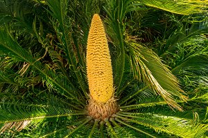 Detail of the fruit cone on Cycas Revoluta