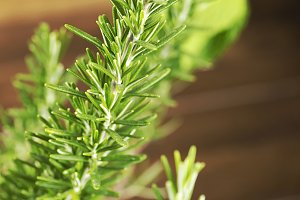 Close-up of the branch of a rosemary plant. Vertical studio shot.