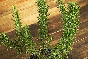 Rosemary plant on wooden table. Vertical studio shot.