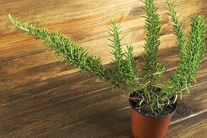 Rosemary plant on wooden table. Horizontal studio shot.