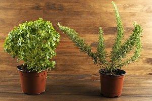 Decoratives green plants on wooden table. Horizontal studio shot.