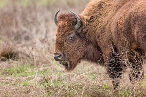 American Buffalo Enjoying Lunch