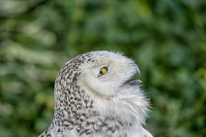 Head of snowy owl