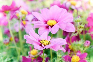 floral pink flowers in the garden