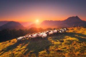 Flock of Sheep in Saibi