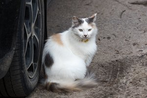Beautiful purebred cat sits on the ground next to the car wheel