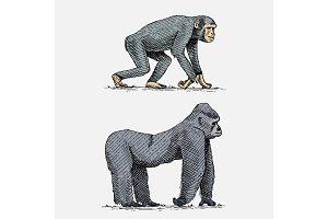 western or mountain gorilla and chimpanzee hand drawn, engraved wild animals in vintage or retro style, zoology african set
