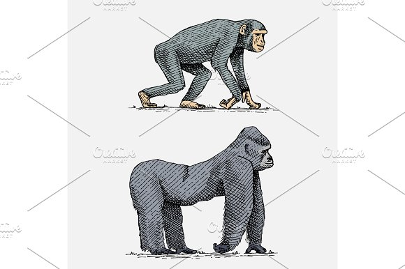 Western Or Mountain Gorilla And Chimpanzee Hand Drawn Engraved Wild Animals In Vintage Or Retro Style Zoology African Set