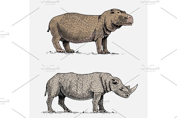 Hippopotamus And Black Or White Rhinoceros Hand Drawn Engraved Wild Animals In Vintage Or Retro Style African Zoology Set
