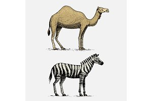 camel and zebra hand drawn, engraved wild animals in vintage or retro style, african zoology set