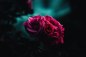 Roses dark background