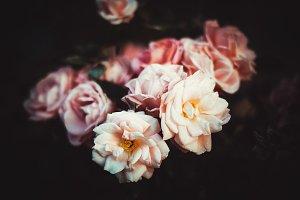Tender roses
