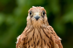 Portrait of a young kestrel