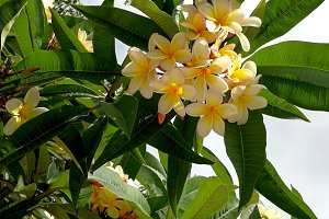 Atlantic tropical flowers tree