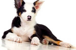 Beautiful Border Collie Dog