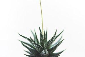 Minimal Succulent