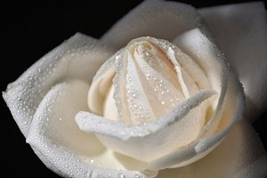 Fresh white rose with water drops