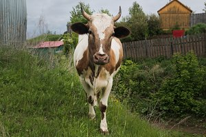 The cow walks in the village on the green grass