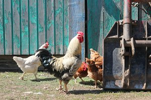 Speckled rooster walks around with chickens