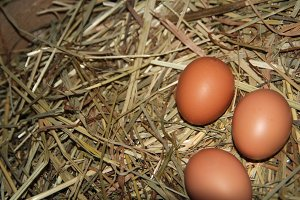 Chicken eggs lying on straw in the chicken coop