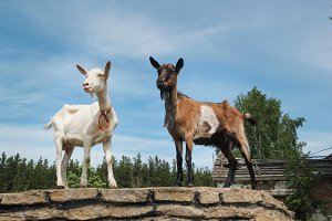 White and brown goats on a walk
