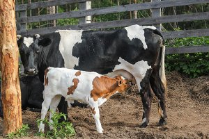 The cow feeds the calf milk from the udder