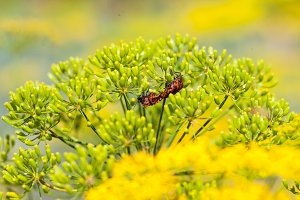 Red black striped shield bug