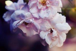 Tea rose on a beautiful background
