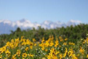 Wyoming Wildflowers