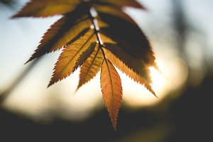 Rowan on the sunset – Young leafs