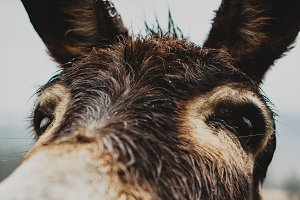 Misty Morning Donkey Closeup
