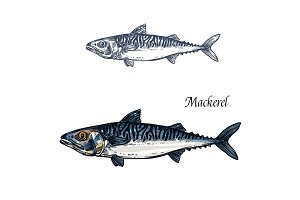 Mackerel fish vector isolated sketch icon