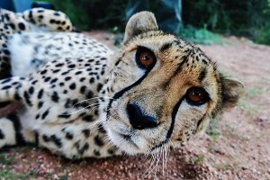 Cheetah in savannah