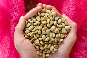 fresh Arabica coffee beans in hands