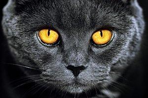 Cat Wild British Grey Luxury Dark