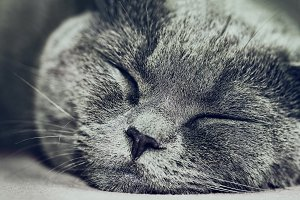 Sleeping Lovely British Grey Cat