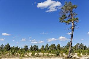 Siberian landscape, pine and sand