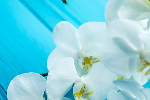 White orchids on a wooden blue background