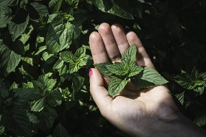 Hands hold mint leaves